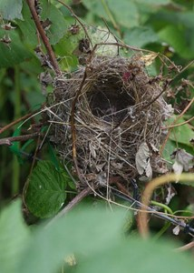 Blue Wrens nest.