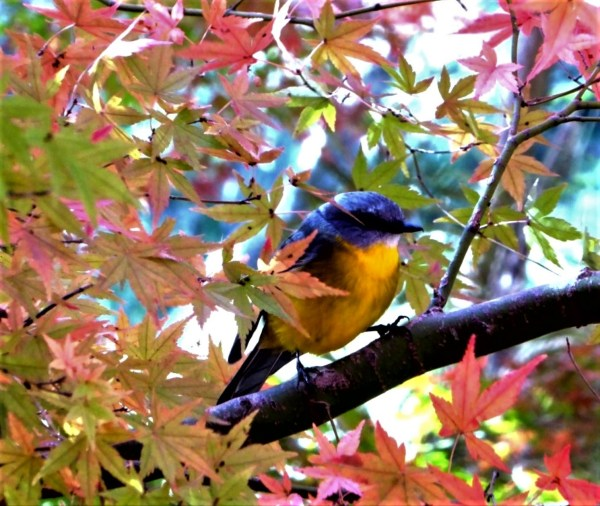 Autumn colour with yellow robin