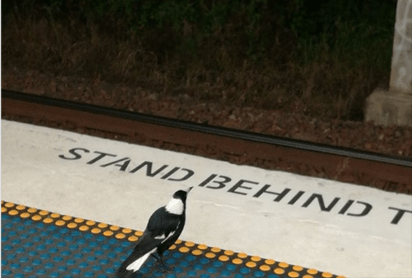 Magpie at the station