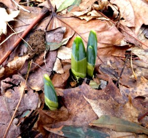 Spring bulbs pushing through.