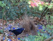 AUTUMN ROMANCE FOR THE SATIN BOWERBIRD