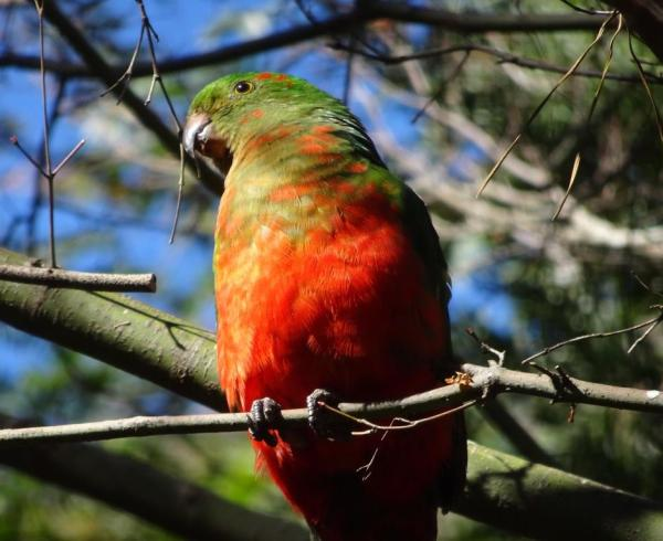 Max the juvenile king parrot.