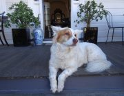 Princess the friendly'guard dog' of Blackheath