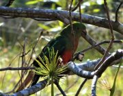 Max the King Parrot