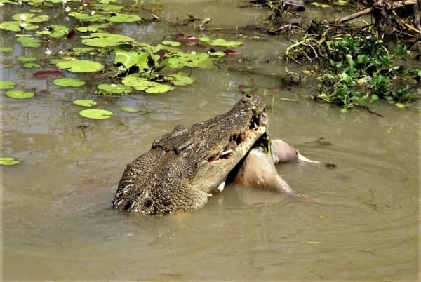 Big croc eating lunch at Kakadu.