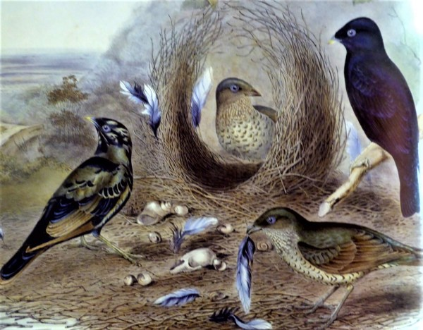 Satin bowerbirds.