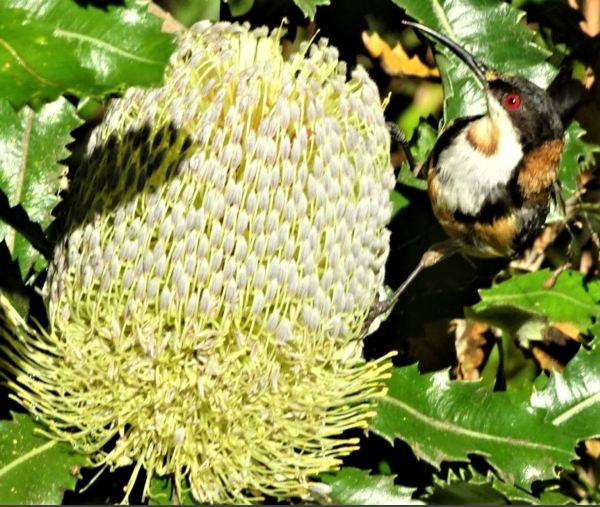 East.ern spinebills adore banksias