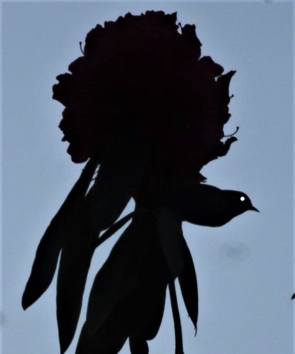 Silvereeye silhouette in a rhodo bloom.