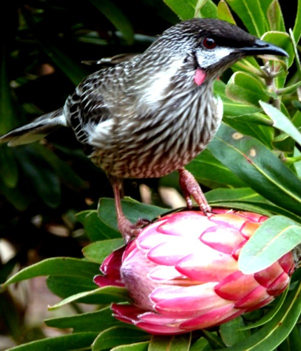 Wattlebird, vivtim in the  bttle with a currawong andsaved by Dr Bob.