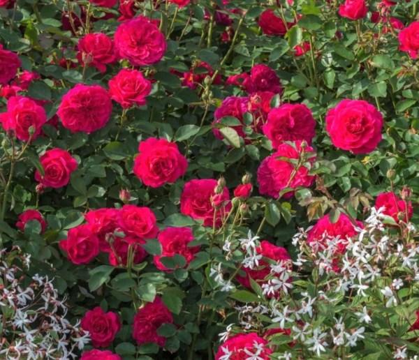 John Betjeman roses