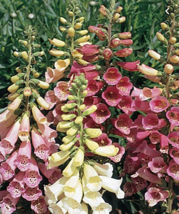 Beautiful foxglove colours