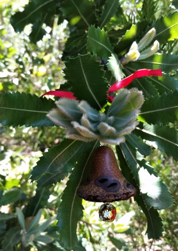 Banksia seed Christmas bell in Bansia serrata.