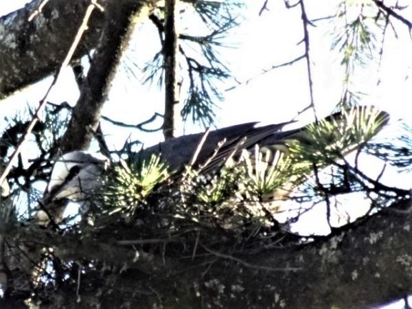 Wonga pigeon nesting in winter.