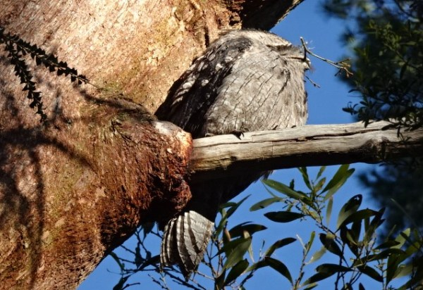 This tawny frogmouth has  nesting material in its beak