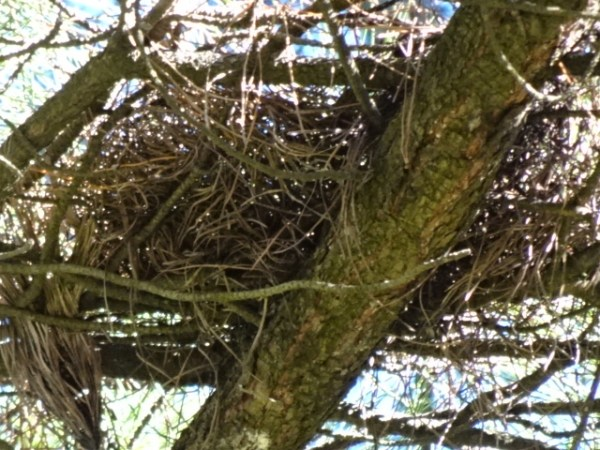 Is this a tawny frogmouth's nest?