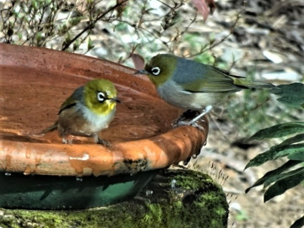 Silvereyes after a dip