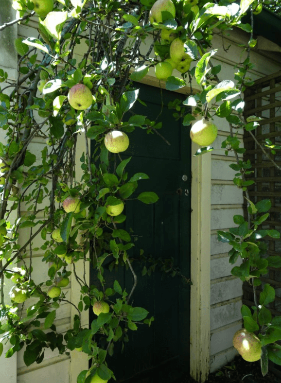 Apples ripen in the hot weather.