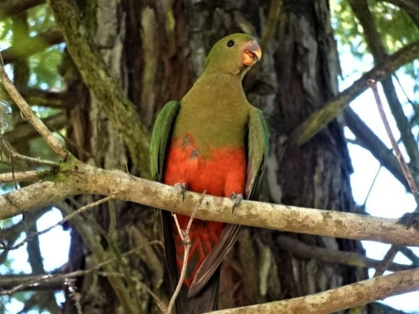 It's a bit too hot for this  king parrot.