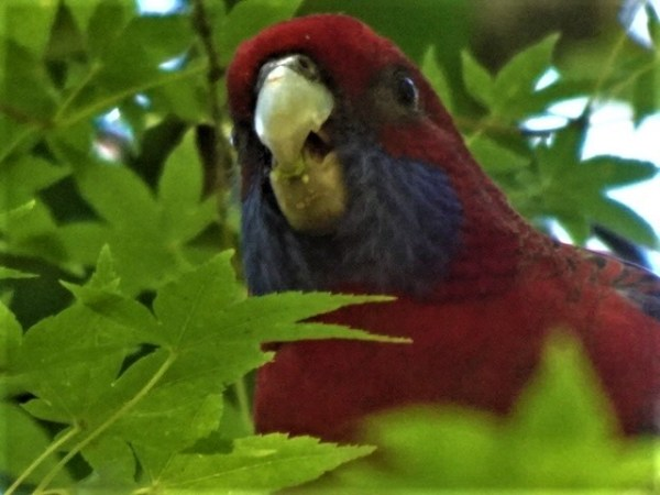 Crimson rosella sheltering in the maple tree on a hot day.