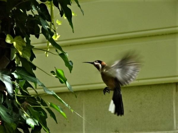 Spinebill hovering like a humming bird.