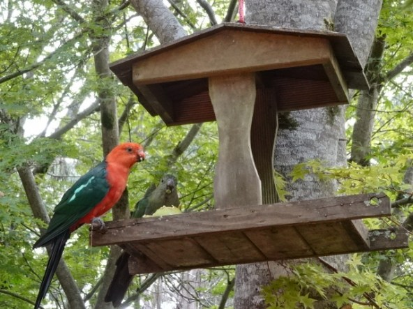 Crimson rosellas were among the first birds to visit.