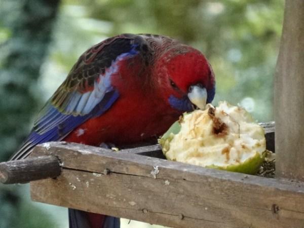 Crimson rosella enjoying his muesli breakfast apple.