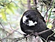 THE WHIP BIRD...WHAT A LITTLE CRACKER!