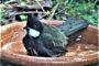 THE WHIPBIRD...WHAT A LITTLE CRACKER!