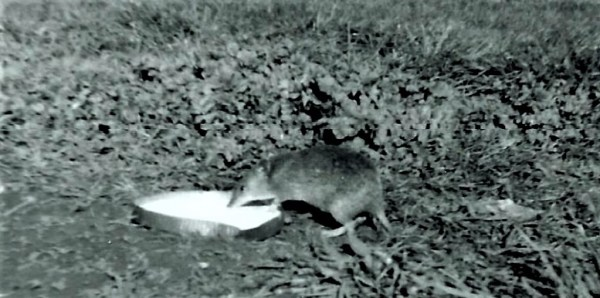 Lorraine gave the bandicoot a saucer of milk each day.