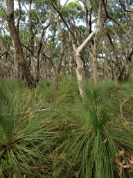 A carpet of Grass Trees