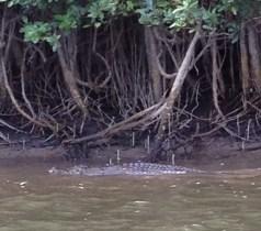 Crocodile on the Daintree River