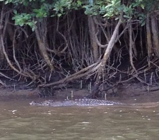 Crocodile on the Daintree River