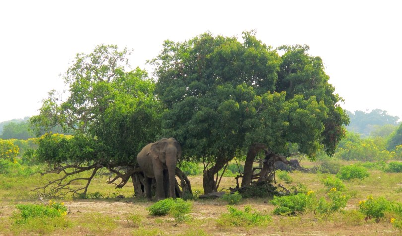 Backpacking Sri lanka you have to visit Yala National park and see elephants