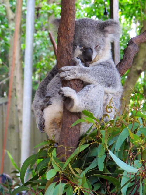 One month in Australia must include a Koala -One month in Australia - A Samle Itinerary with Sydney, Byron Bay & Airlie Beach