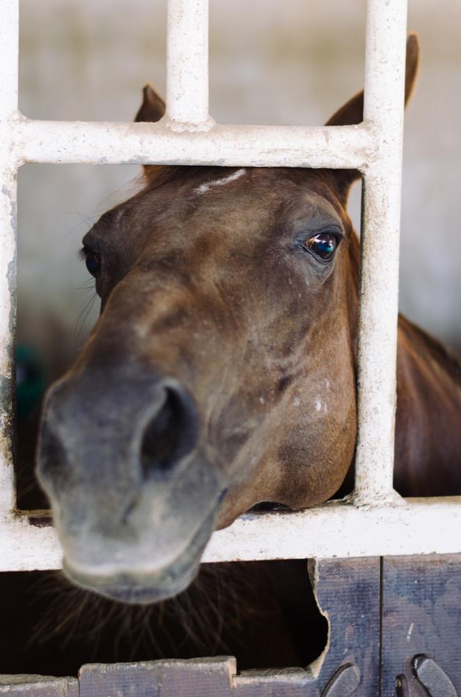 Investigator horse