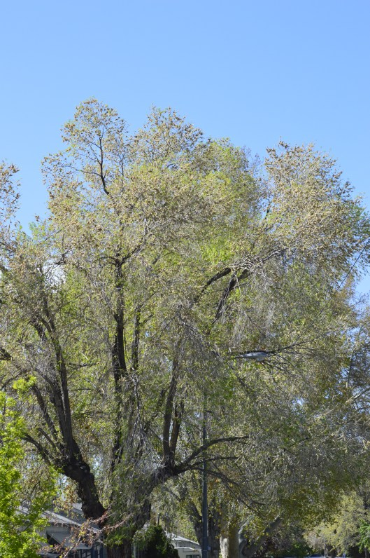 A Siberian Elm loaded up with seed pods (Reno, NV/April 2016)
