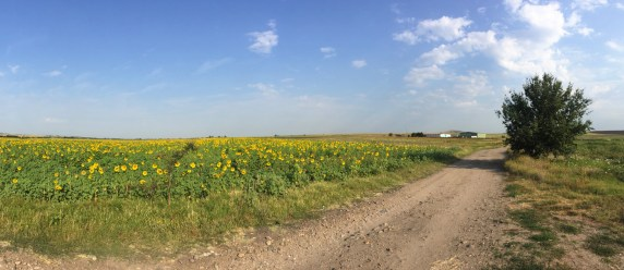 Sunflower field, Bulgaria
