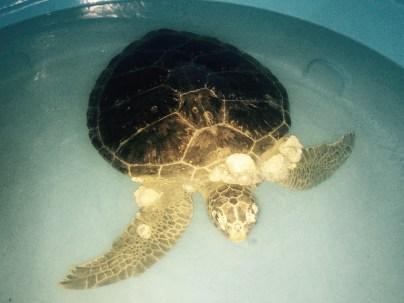 Turtle with skin cancer, Project TAMAR, Ubatuba
