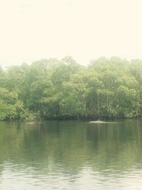Guiana dolphins on the way to Maraja, Brazil