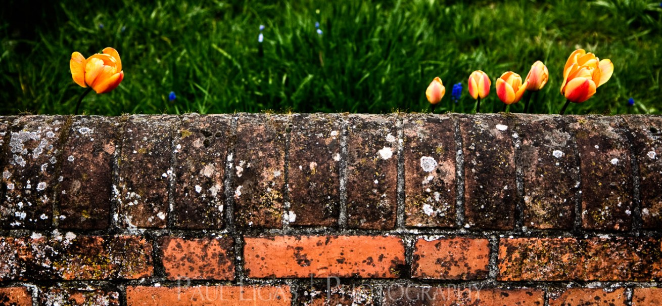 Tulips behind a wall, nature photographer photography Herefordshire 0626