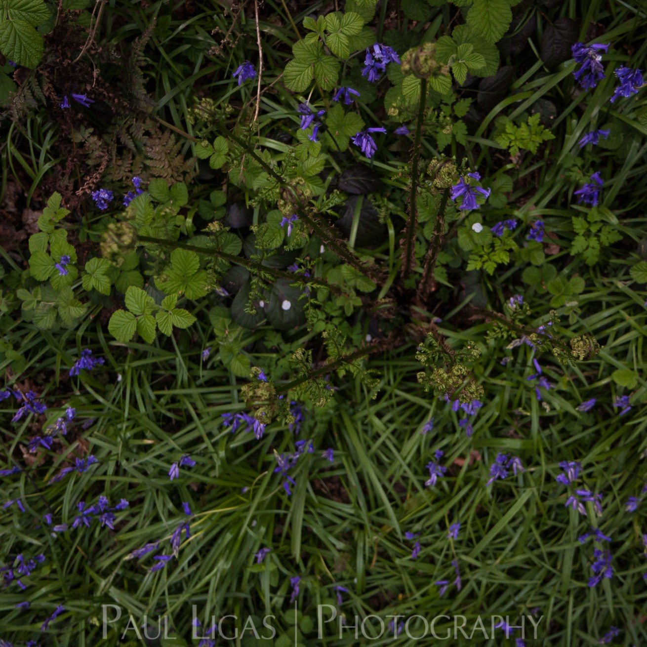 Bluebells in Dog Hill Wood, Ledbury, Herefordshire nature photographer photography landscape 7058