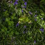 Bluebells in Dog Hill Wood, Ledbury, Herefordshire nature photographer photography landscape 7065
