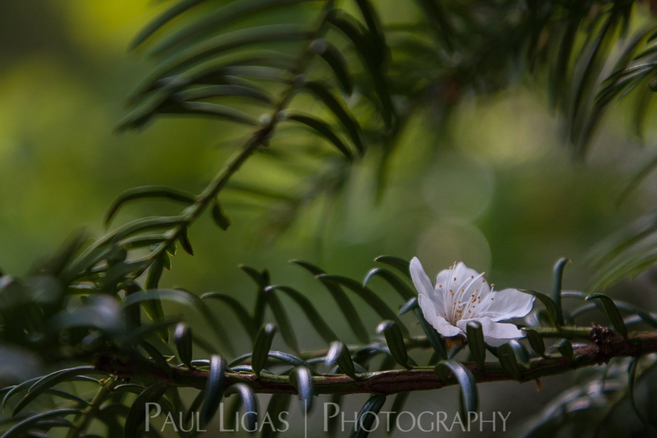Cherry blossom on Yew, Dog Hill Wood, Ledbury, Herefordshire nature photographer photography landscape 7104