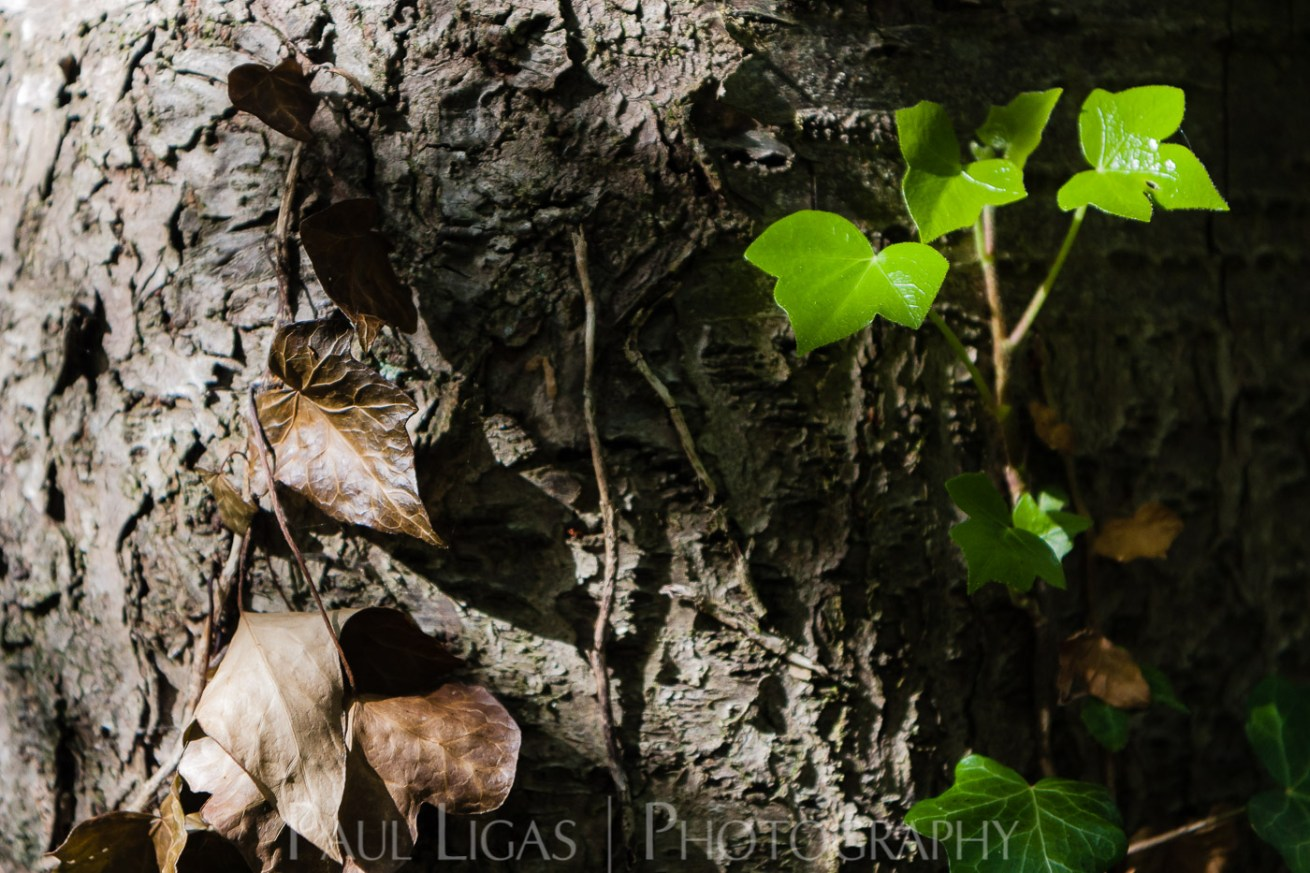Ivy in Dog Hill Wood, Ledbury, Herefordshire nature photographer photography landscape 7125