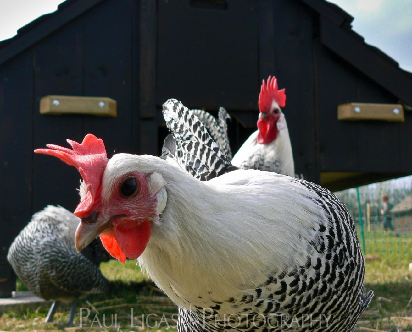 Mill House Farm agriculture photographer photography farming chicken herefordshire 0835