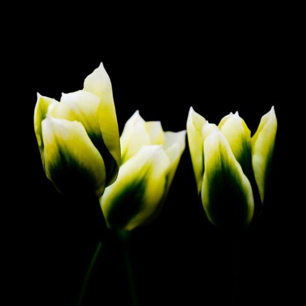 Paul Ligas Photography Print Yellow Tulips 3