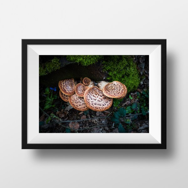 paul ligas photography print Dryad's Saddle fungus on a stump mockup