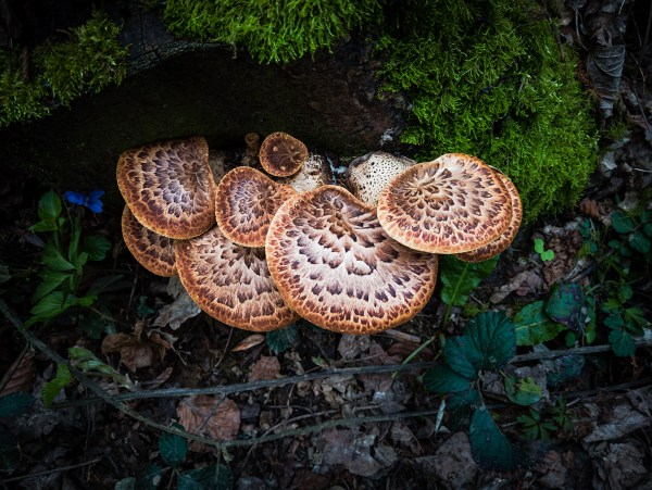 paul ligas photography print Dryad's Saddle fungus on a stump