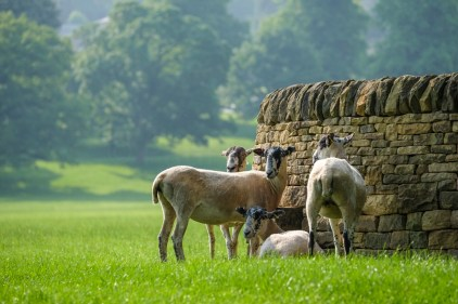 Uk Weather. Chatsworth, UK. 8th June 2016. It's been a hot summer's day on the Chatsworth Estate in Derbushire with even the sheep looking to find a bit of shade wherever they can.