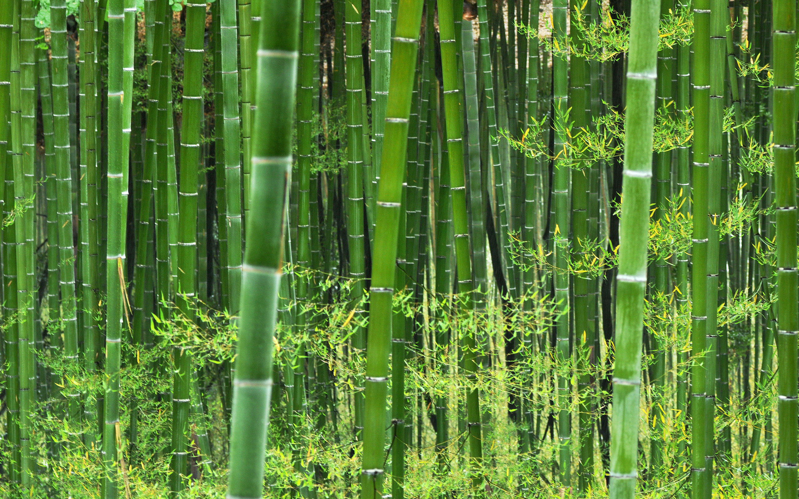 20 Sec Read The Chinese Bamboo